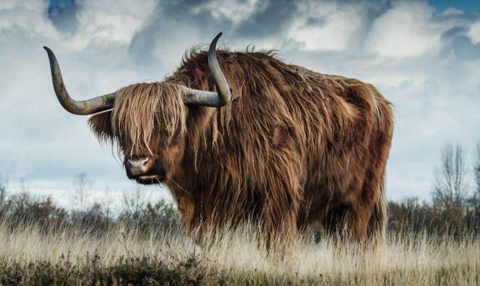 Dieren Schilderijen: Dibond schilderij Schotse Hooglander