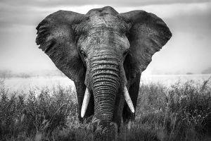 Glas schilderij krachtige olifant