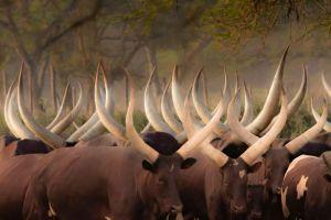Kudde Koeien Ankola Zuid Afrika Glas Schilderij 120x80