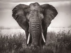 Glas schilderij olifant