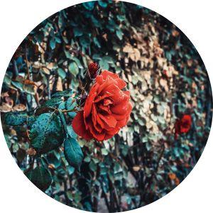 Rond glas schilderij rozenmuur 80 cm