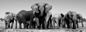 Glas schilderij foto kunst kudde olifanten