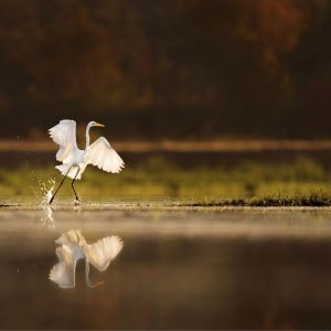 LAND OF THE RISING SUN - Witte Reiger