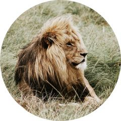 Rond glas schilderij leeuw in hogegras 80 cm