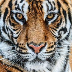 Oranje Wit Zwarte Tijger Glas Schilderij 80x80