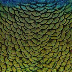 RVS schilderij pauw