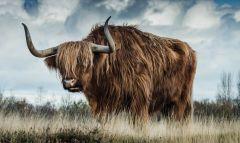 Dibond schilderij Schotse Hooglander