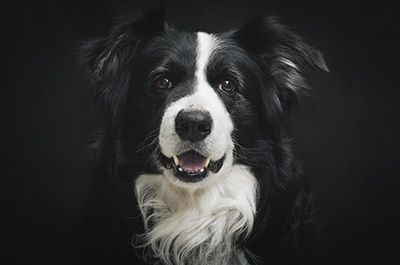 Honden Schilderijen Blog