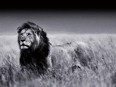 Plexiglas schilderij leeuw 120x160